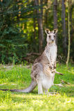 Wildlife Mother Kangaroo and baby in pouch. Mother Kangaroo and baby in pouch Royalty Free Stock Image