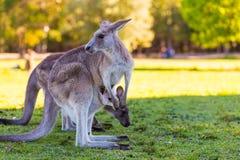Wildlife mother kangaroo and baby in pouch. Wildlife Kangaroo in park, Australia Stock Photo