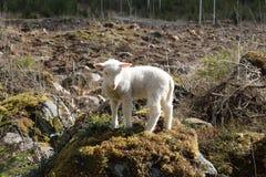 Wildlife, Mountain Goat, Grass, Sheep stock images