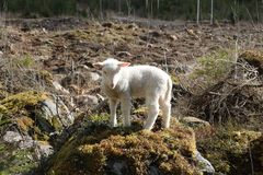 Wildlife, Mountain Goat, Sheep, Goats stock photography