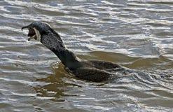 Wildlife at Mudeford Quay. Cormorant at Mudeford eating a fish Stock Photography