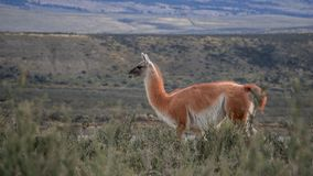 Wildlife and Nature at Parque Torres del Paine, Chile, Patagonia royalty free stock photography