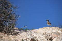Thekla's lark & x28;Galerida theklae& x29; perched on a stone rock in Agadir, Morocco royalty free stock photos