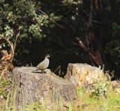 Wildlife in Northern California Royalty Free Stock Photo