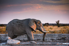 Wildlife in Nxai Pan National Park Royalty Free Stock Images