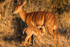 Wildlife Nyala Buck Feed Calf. Nyala Female buck stands alert for lion or leopard predators while the young calf breast feeds on her milk during the early Royalty Free Stock Photos