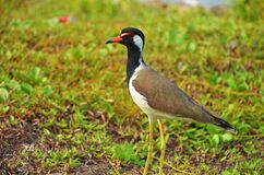 Free Wildlife Of SriLanka , The Red-wattled Lapwing Vanellus Indicus Royalty Free Stock Photos - 178801518