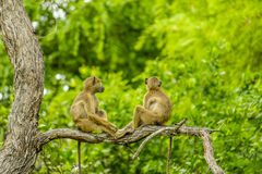 Wildlife - Olive Baboon Stock Images