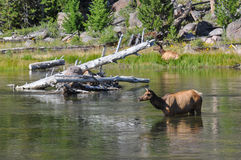 Wildlife in one of the many scenic landscapes of Yellowstone Nat Stock Images