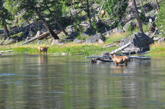 Wildlife in one of the many scenic landscapes of Yellowstone Nat Stock Image