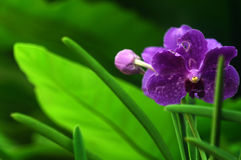 Wildlife  orchid flower Royalty Free Stock Image