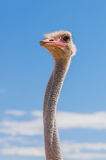 Wildlife - Ostrich Stock Images