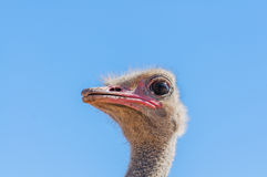 Wildlife - Ostrich Royalty Free Stock Photo