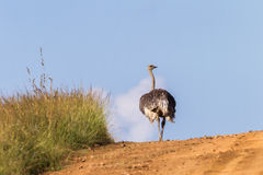 Wildlife Ostrich Dirt Road Royalty Free Stock Photography