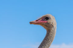Wildlife - Ostrich Royalty Free Stock Photography