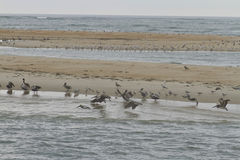 Wildlife of the Outer Banks Stock Photo