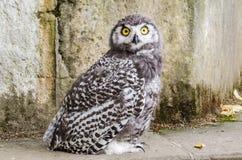 Wildlife owl. Wildlife huge white owl whith yellow eye Royalty Free Stock Photos
