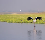 Wildlife. Painted Stork searching for food early morning stock photos