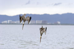 Wildlife Pelicans diving. Royalty Free Stock Image