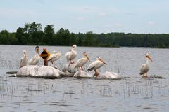Wildlife (Pelicans) Meets Recreation. Several American white pelicans hanging out on a group of rocks protruding out of Island Lake in Northome, MN.  This Royalty Free Stock Photography