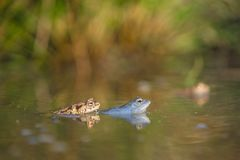 The Common toad Bufo bufo and The Moor frog Rana arvalis in Czech Republic royalty free stock photos