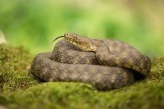 Dice snake Natrix tessellata in Czech Republic. Wildlife photo of dice snake in Czech Republic stock photography