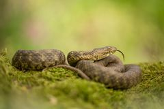 Dice snake Natrix tessellata in Czech Republic. Wildlife photo of dice snake in Czech Republic royalty free stock images