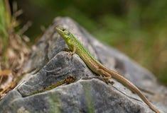 The European Green lizard Lacerta viridis in Croatia stock photography