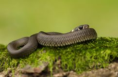 The Grass snake Natrix natrix in Czech Republic stock photo