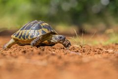 Hermann`s Tortoise Testudo hermanni in Paklenica Croatia royalty free stock image