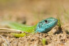 The European Green lizard Lacerta viridis czech stock image