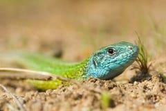 The European Green lizard Lacerta viridis czech stock image