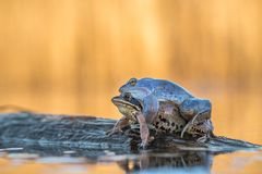 Mating The Moor frog Rana arvalis in Czech Republic stock photos
