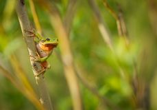 Nice green European tree frog, Hyla arborea, sitting on stick in Czech Republic stock image