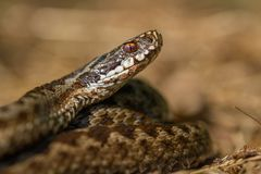 European viper Vipera berus in Czech Repblic stock photography