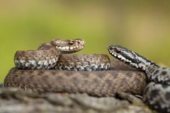 Pair of European viper Vipera berus in Czech Republic, female and male together royalty free stock photo