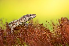 The viviparous or common lizard Zootoca vivipara in Czech Republic. Wildlife photo of The viviparous or common lizard Zootoca vivipara stock photography
