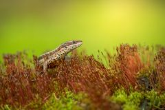 The viviparous or common lizard Zootoca vivipara in Czech Republic. Wildlife photo of The viviparous or common lizard Zootoca vivipara royalty free stock images