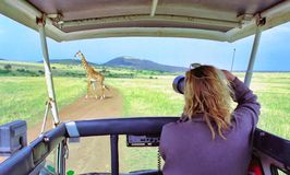 Wildlife photographer. Taking pictures on a safari trip royalty free stock images