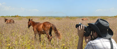 Wildlife photographer. Panoramic shot of Wildlife photographer aiming at runing horses Stock Image