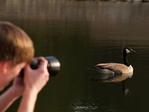 Wildlife Photographer. A young man photographing a Canadian goose with his camera Royalty Free Stock Photo