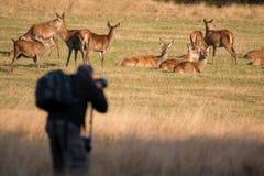 Wildlife photographer taking photos of deer. Royalty Free Stock Photo