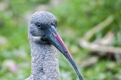 Wildlife- photography- African  hadada ibis bird. Close-up wildlife photography of head,neck,bill,of an  African  hadada ibis bird Royalty Free Stock Image