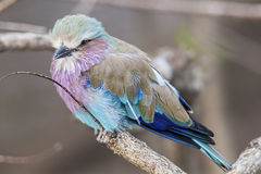 Wildlife photography of a African  lilac breasted roller bird. Closeup of an African lilac breasted roller bird perched on a tree limb Royalty Free Stock Images