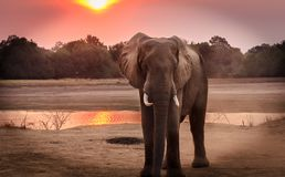 Wildlife Photography of Elephant during Golden Hour Stock Photos