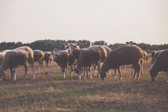 Wildlife Photography of Herd of Sheep Stock Images
