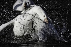 Waterbirds fighting for territory in pond during mating season. Wildlife photography.Two male white gooses fighting for territory splashing water around during stock image