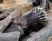 Wildlife of The Porcupine in zoo. At Thailand royalty free stock images