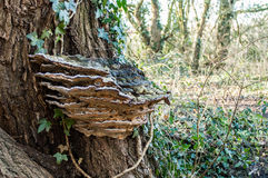Wildlife portrait - large bracket fungi Stock Photos