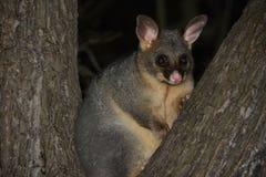 Wildlife possum Stock Photos